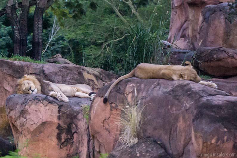 kilimanjaro safaris lions animal kingdom