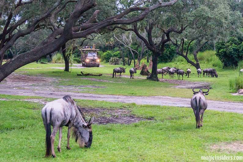 kilimanjaro safaris wildebeest